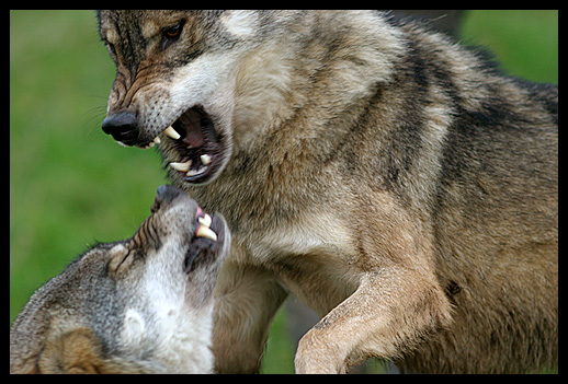 normal_wolves_fighting.jpg